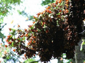 Tree branch covered in monarch butterflies